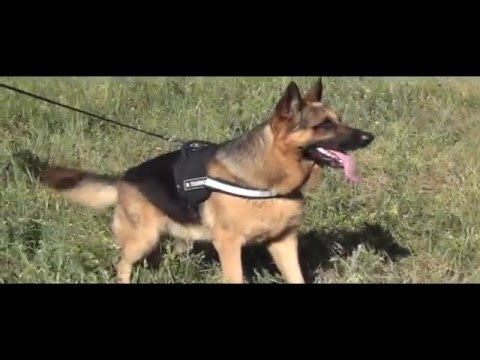 0 German Shepherd Wearing Nylon Harness With Reflective Strap
