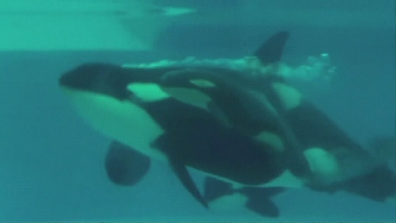 AMAZING PICTURES: The moment a baby killer whale is born ...