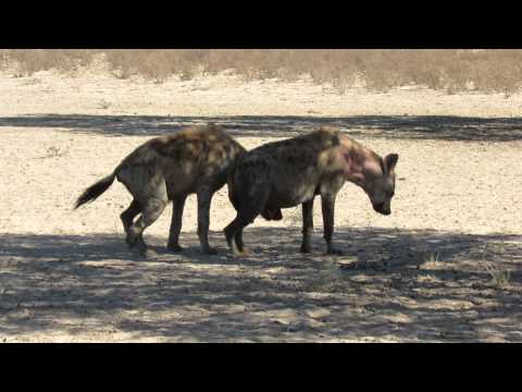 Injured howling Hyaena at Lijersdraai Water Hole