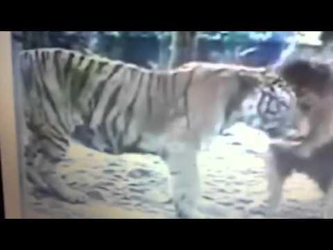 Hổ vằn giết Sư Tử