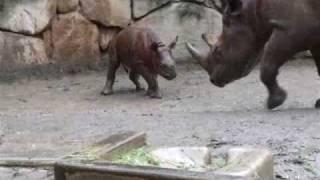 Galloping Baby Rhino