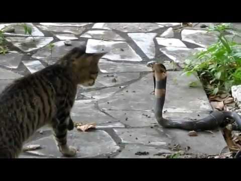 Mèo đấu với hổ mang