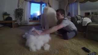 Um cão ou uma bola de pelos?