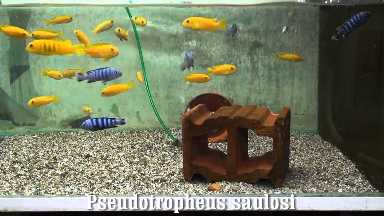 Pseudotropheus saulosi - YouTube