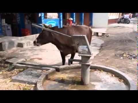 من قال إن البشر أذكى من البقر؟