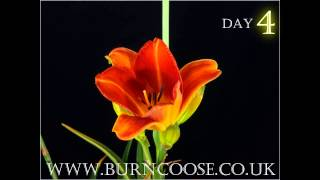 Hemerocallis flower opening - timelapse - slow motion
