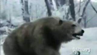 Animal Face-Off Bear Vs Tiger