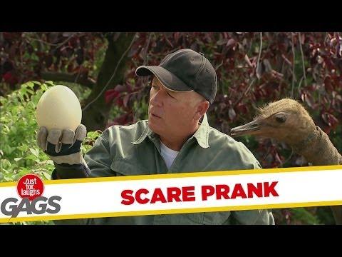Ostrich Prank - Strucc poén