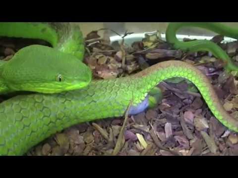 Cận cảnh rắn lục đuôi đỏ đẻ con