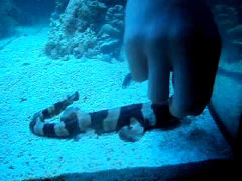 Shark feeding in fish tank youtube for Fish tank sharks
