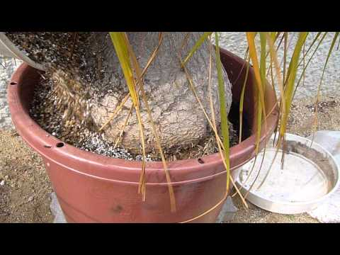 How to repot Beaucarnea recurvata (7/8) Spring 2011