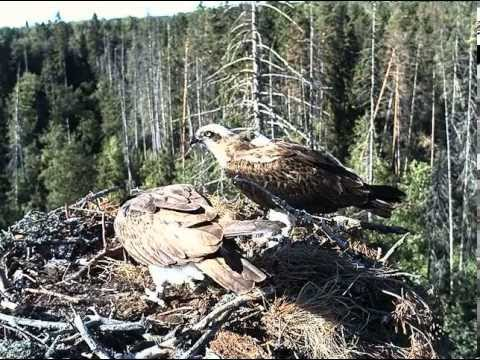Kalakotkas 2 - Osprey nest, Estonia 19th June 2013 18.02 Ilmar delivers a fish