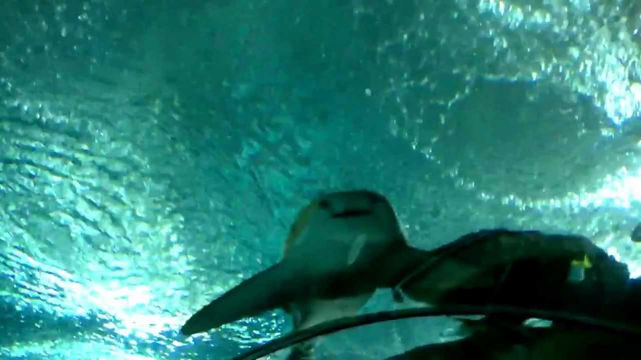 gr tes aquarium der welt 83 meter tunnel mit fischen im sea aquarium singapur youtube. Black Bedroom Furniture Sets. Home Design Ideas