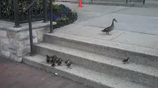 Ördek yavruları ve merdiven