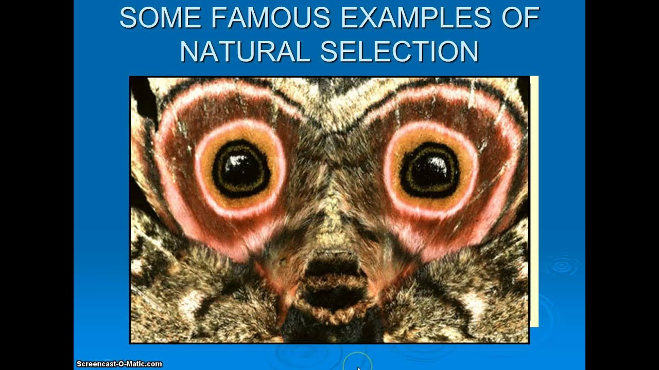 Displaying 18 gt  Images For - Natural Selection Examples In Nature   Natural Selection Examples For Kids