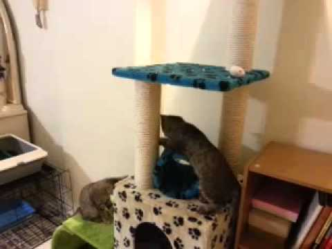 Kittens chasing mouse on a cat tree.