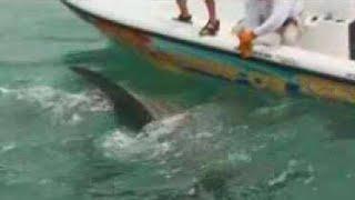 Best Hammerhead Shark Video Chew On This Fishing Show