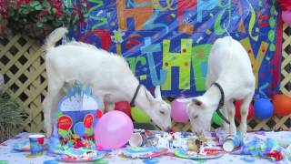 [Happy Birthday Goat Pees on cake!] Video