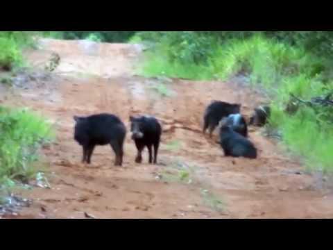 Caititu, Porco-do-mato, Atravessando a estrada, Tayassu tajacu,