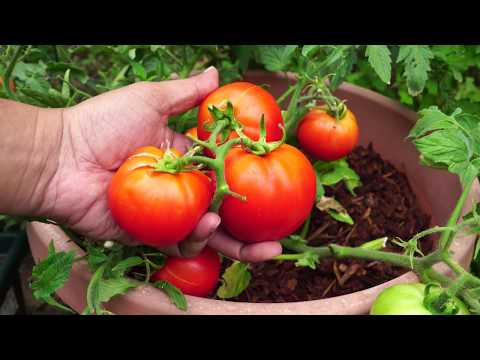 Growing Dwarf Tomato - Red Pride Hybrid Short Determinate Tomatoes