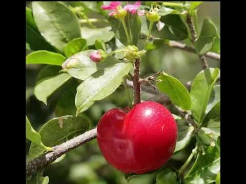 Acerola Fruit Health Benefits