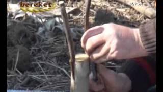 Ceviz Ağacı Kabuk Aşısı