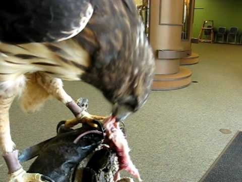 Red-tailed Hawk Feeding