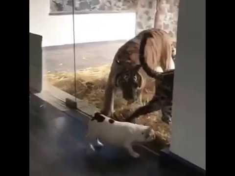 dong vat danh nhau kinh hoang-Khi Hổ và Chó đánh nhau - Hot video 2017
