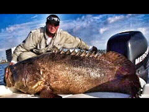 500 Pound Goliath Grouper Sea Bass Jewfish Fish Chew On This! Fishing