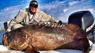 500 Pound Goliath Grouper Sea Bass Jewfish Fish Chew On
