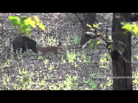 Dhole vs. Wild Boar in Nagarahole National Park, Karnataka, India