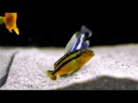 Malawi Cichlids Breeding - Close Up - Melanochromis Auratus