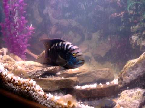 Cichlid - Jack Dempsey (Breeding and very protective)