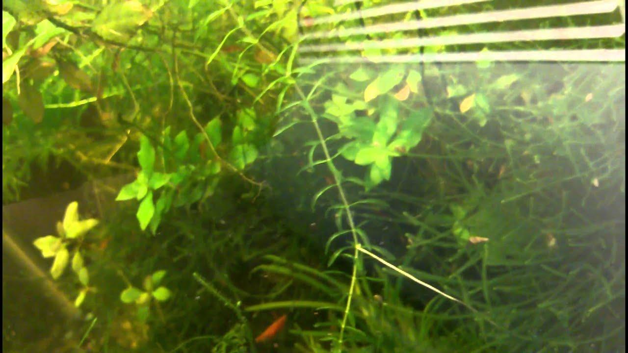 aquarium 30g a vendre crevette cerise upton qc cherry shrimp