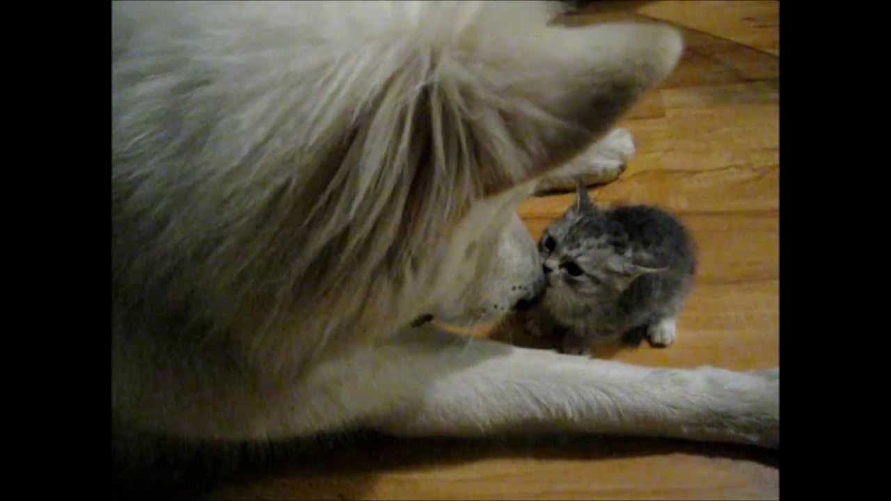 Big Bad Wolf And Itty Bitty Kitten Learning To Play