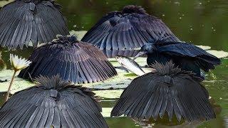 Black Heron - Loài Chim Có Cách Săn Mồi Vô Cùng Bá Đạo