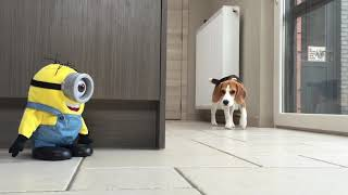 Perros vs Tumblin Stuart de  The Minion!