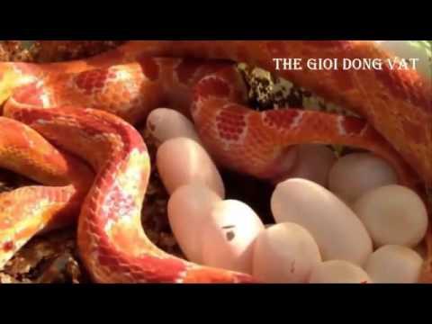 Cận cảnh quá trình đẻ trứng của loài rắn hổ mang - Thế giới động vật