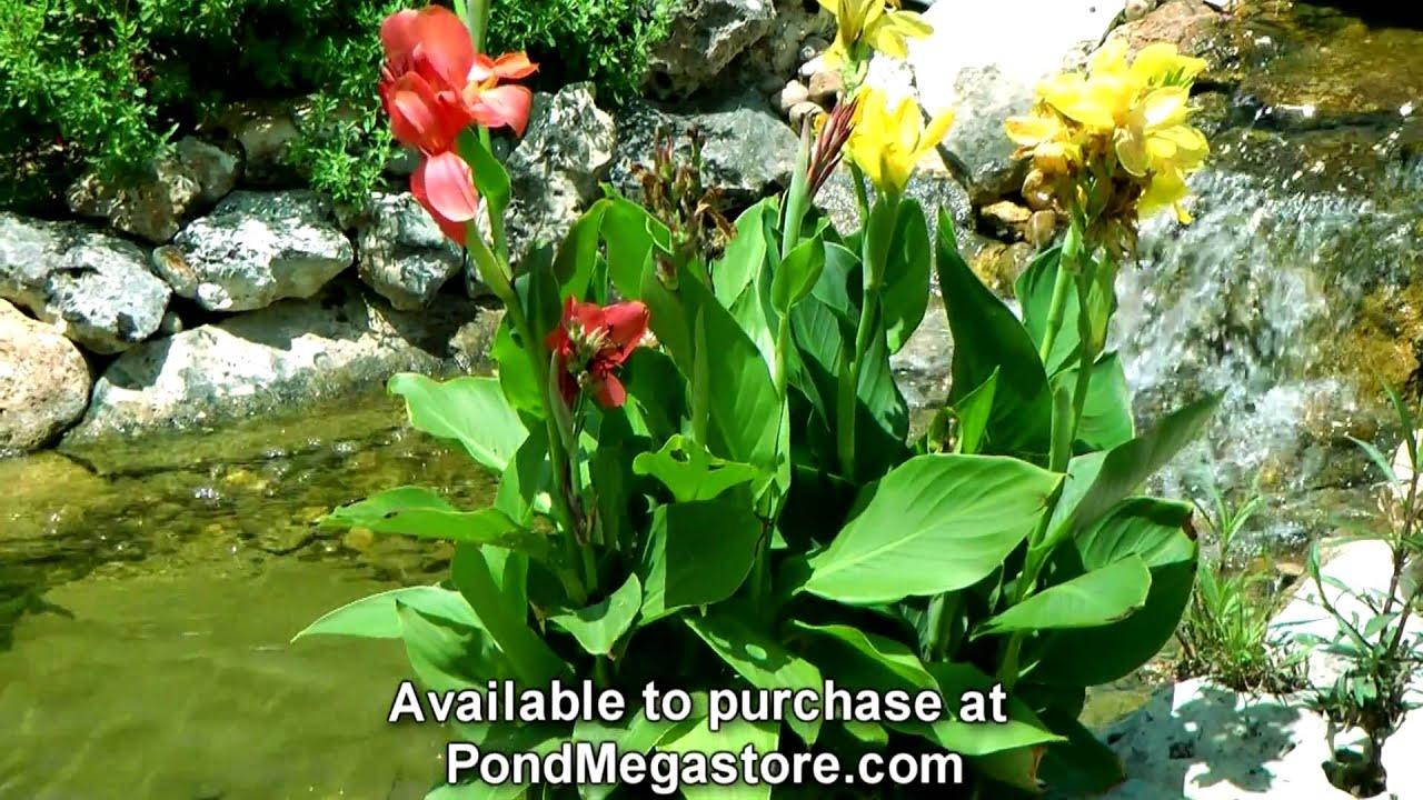 Aquatic cannas in water garden stream grow pond plants for Outdoor aquatic plants