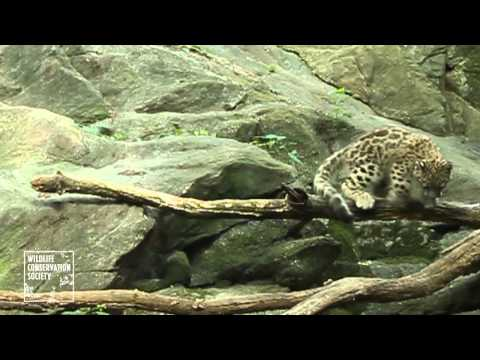 Thumbnail image for 'When baby animals attack: Snow leopard makes Bronx Zoo debut'