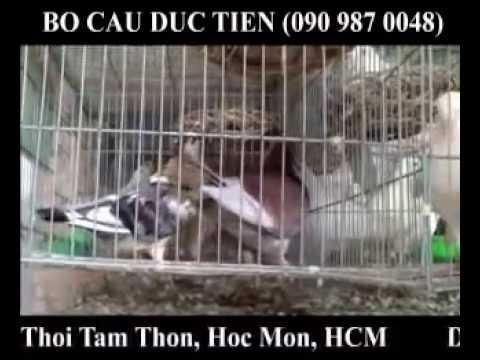 BỒ CÂU ĐỨC TIẾN - Hóc Môn, HCM (090 987 0048)