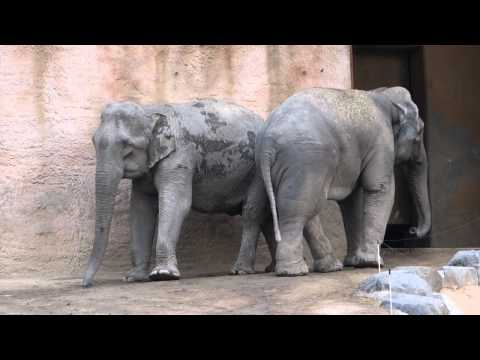 Animal dance elephant couple dancing topten funny@croos