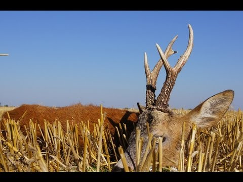 Bukke jagt i Polen, Roe buck hutning in Poland - rut (www.ultimatehunting.eu)