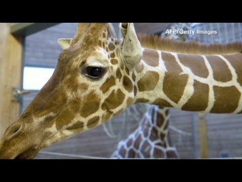 Second Danish giraffe's life at risk?
