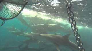 Ribuan hiu ini mengikuti kapal - Pemandangan yang menyeramkan