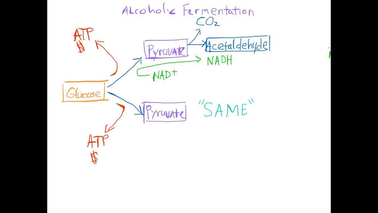 Alcoholic Fermentation Made Easy  YouTube