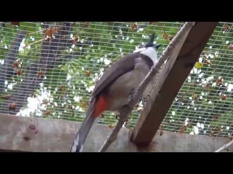 Quang ngai  chim chào mào đầu đàng CF Ngoc Mai Trương Dinh -0987115448