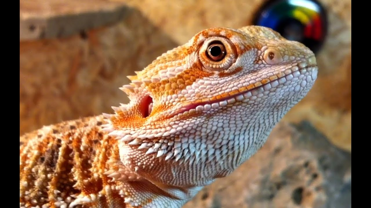 4 month old red bearded dragon cute baby pogona