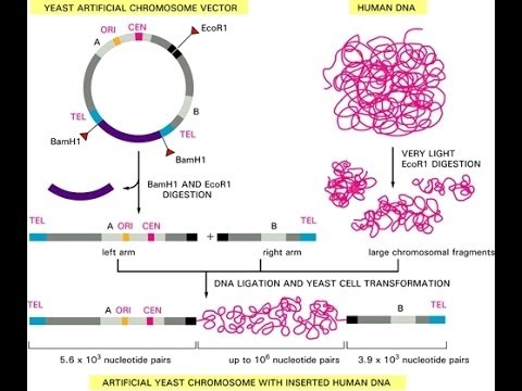 Yeast artificial chromosome (YACs)