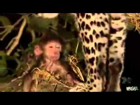 Báo đốm không nỡ ăn thịt khỉ con-Yume TTNV